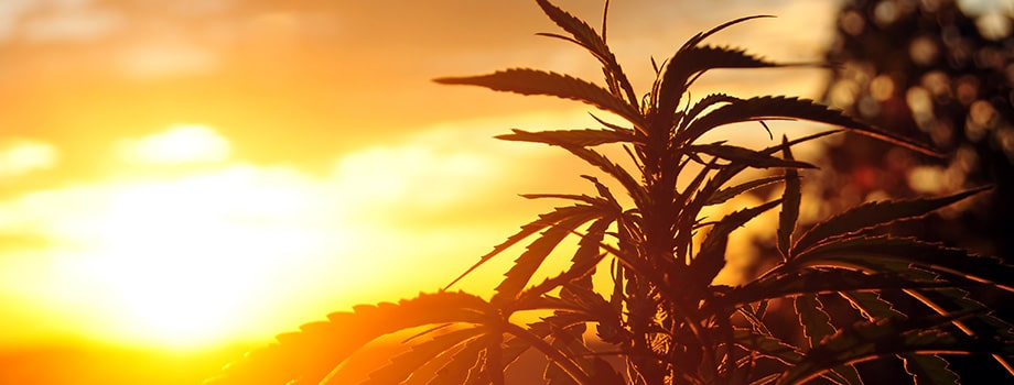 Silhouette of cannabis plant in early morning light. Buy weed online dispensary canada.