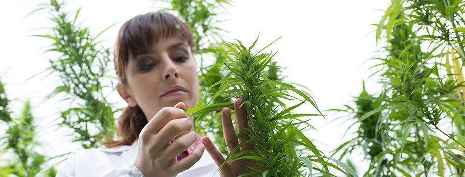 Scientist checking hemp flowers. what are terpenes in weed? Are terpenes in weed psychoactive? Are weed terpenes legal?